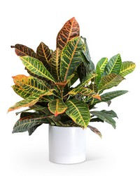 Croton Petra Plant from Brennan's Florist and Fine Gifts in Jersey City