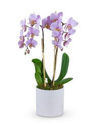 Phalaenopsis Orchid from Brennan's Florist and Fine Gifts in Jersey City