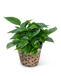 Pothos Plant in Basket from Brennan's Florist and Fine Gifts in Jersey City