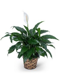 Peace Lily Plant from Brennan's Florist and Fine Gifts in Jersey City