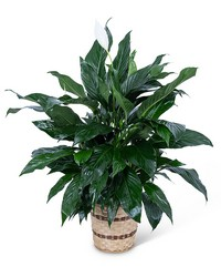 Medium Peace Lily Plant from Brennan's Florist and Fine Gifts in Jersey City