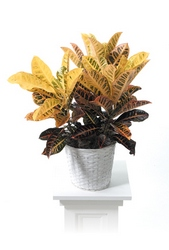 Croton plant from Brennan's Florist and Fine Gifts in Jersey City