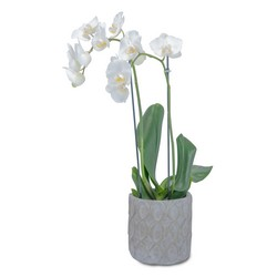 White Elegance Orchid from Brennan's Florist and Fine Gifts in Jersey City