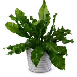 Bird's Nest Fern from Brennan's Florist and Fine Gifts in Jersey City