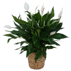 Peace Lily Plant in Basket from Brennan's Florist and Fine Gifts in Jersey City