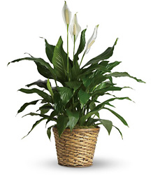 Spathiphyllum  from Brennan's Florist and Fine Gifts in Jersey City