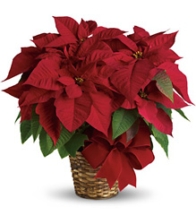 Red Poinsettia from Brennan's Florist and Fine Gifts in Jersey City